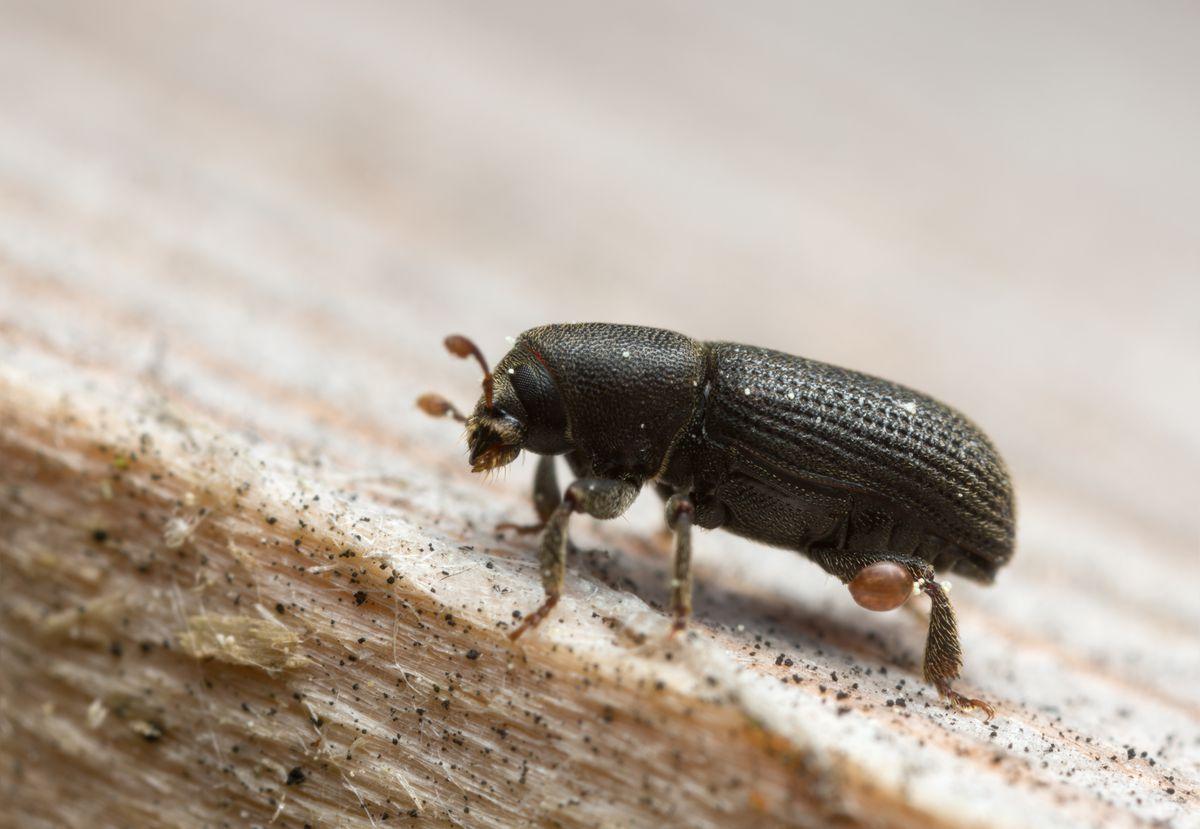 появление жука